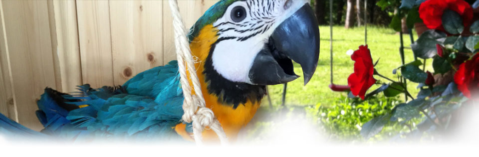Ara ararauna - Allevamento pappagalli domestici, 3405828767 ilgiardinoincantato.it Bologna