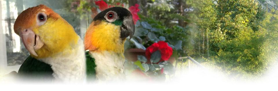 Caicco - Allevamento pappagalli domestici, 3405828767 ilgiardinoincantato.it Bologna