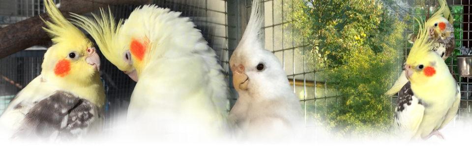 Calopsite Allevamento pappagalli domestici, 3405828767 ilgiardinoincantato.it Bologna