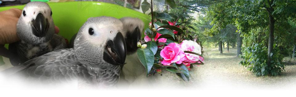 Cenerino - Allevamento pappagalli domestici, 3405828767 ilgiardinoincantato.it Bologna