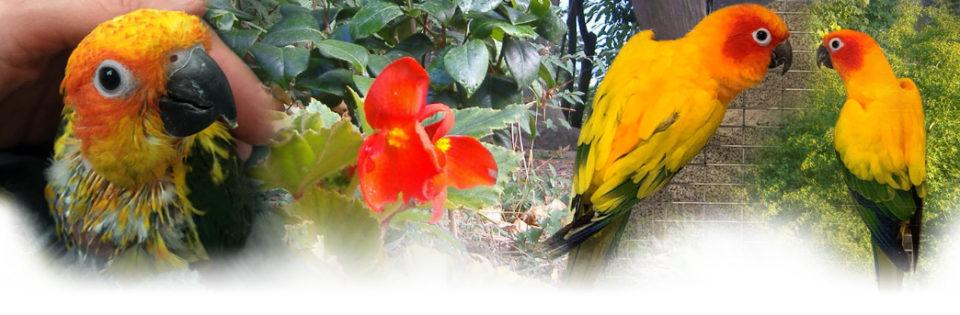 Conuri del sole - Allevamento pappagalli domestici, 3405828767 ilgiardinoincantato.it Bologna