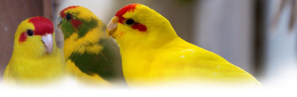 Kakariki - Allevamento pappagalli domestici, 3405828767 ilgiardinoincantato.it Bologna
