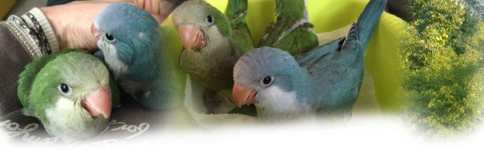 Parrocchetto monaco - Allevamento pappagalli domestici, 3405828767 ilgiardinoincantato.it Bologna