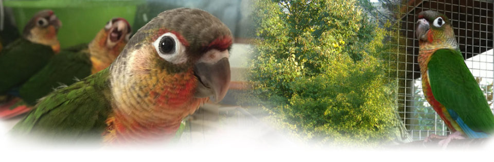 Pyrrhura - Allevamento pappagalli domestici, 3405828767 ilgiardinoincantato.it Bologna