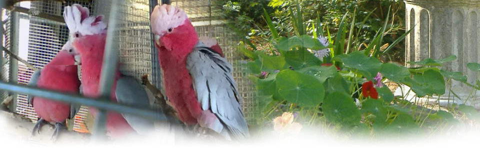 Roseicapilla - Allevamento pappagalli domestici, 3405828767 ilgiardinoincantato.it Bologna
